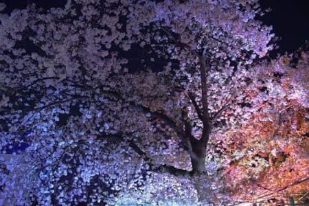 綺麗な桜とお洒落なオードブルで素敵なお花見を